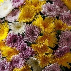 Хризантема Микс фото
