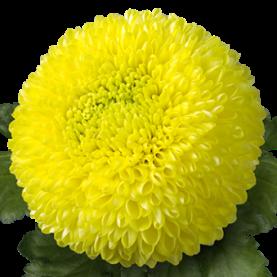 Хризантема Помпон Желтая фото