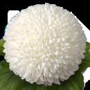 Хризантема Помпон 60см