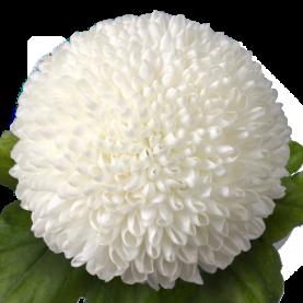 Хризантема Помпон Белая фото