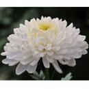 Хризантема (Принцесса Анна Вайт)