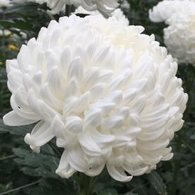 Хризантема Бигуди Белая фото