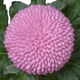 Хризантема Помпон Розовая фото