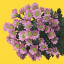 Хризантема Сантини (Tanga Pink)