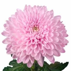 Хризантема Розовая фото