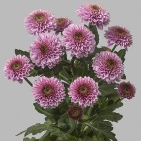 Хризантема Сантини Doria Pink