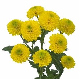 Хризантема Сантини Doria Yellow фото