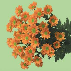 Хризантема Сантини Ovada Orange