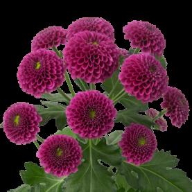 Сантини Фиолетовая фото