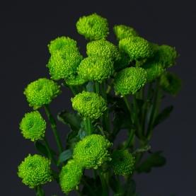 Хризантема Сантини зеленая фото