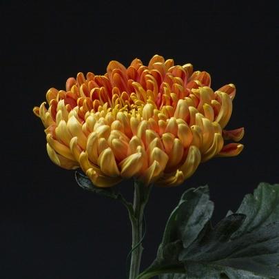 Хризантема Шоколадная фото