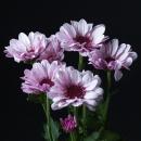 Хризантема Светло-Сиреневая