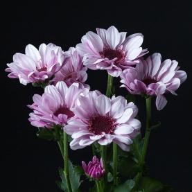 Хризантема Светло-Сиреневая Кустовая Ромашка фото