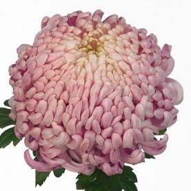 Хризантема Бигуди Розовая фото