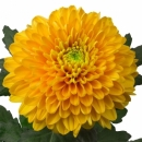 Хризантема (Willem Orange)