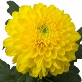 Хризантема Желтая фото