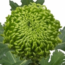 Хризантема Бигуди Зеленая фото