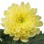Хризантема (Zembla Yellow)
