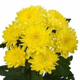 Хризантема Кустовая Bernal фото