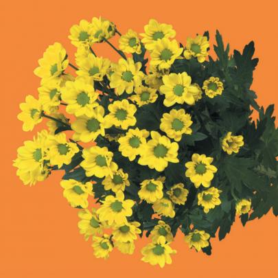 Хризантема Сантини Ringa Yellow фото