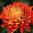 Хризантема (Золотая Осень)