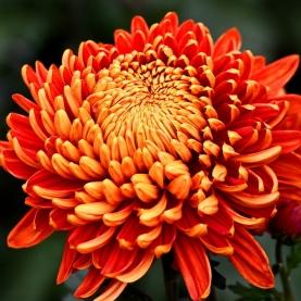 Хризантема Золотая Осень фото