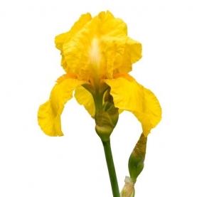 Ирис желтый поштучно фото