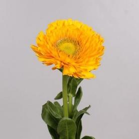 Календула Оранжевая фото