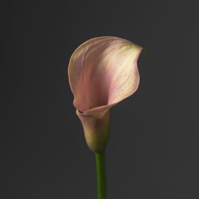 Калла бледно-розовая фото