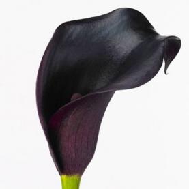 Калла темно-бордовая фото