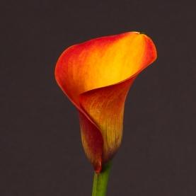 Калла Оранжевая фото