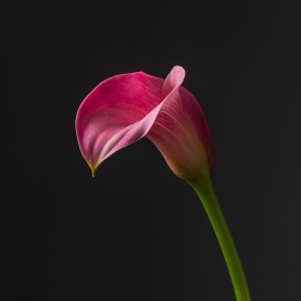 Калла розовая поштучно фото