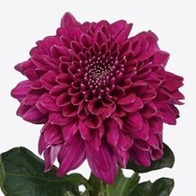 Хризантема Фиолетовая фото