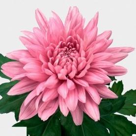Хризантема Resomee Dark фото