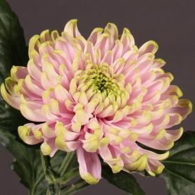 Хризантема Зеленая фото