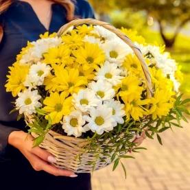 11 Бело-Желтых Кустовых Хризантем в корзине фото
