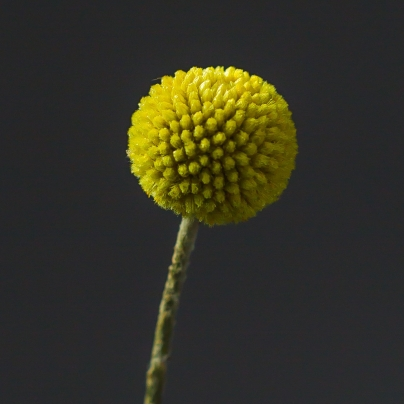 Краспедия Желтая фото