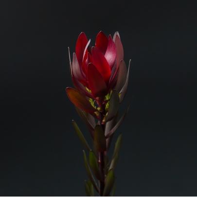 Леукодендрон Сафари Красный фото