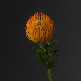 Леукоспермум оранжевый фото