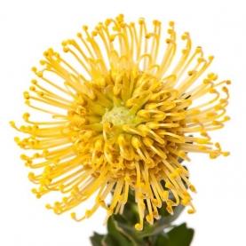 Леукоспермум Желтый фото