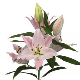 Лилия Восточная нежно-розовая поштучно фото