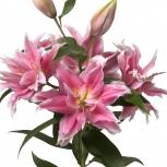 Лилия Нежно-Розовая Махровая