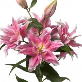 Лилия Нежно-Розовая Махровая (Восточная) фото