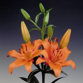 Лилия Оранжевая фото