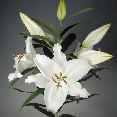 Лилия Восточная белая поштучно фото