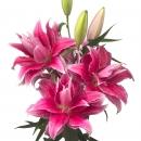 Лилия Ярко-Розовая Махровая