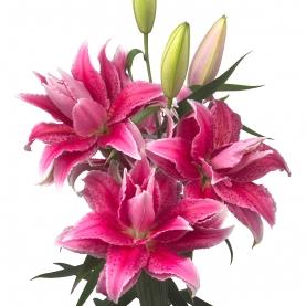 Лилия Ярко-Розовая Махровая (Восточная) фото