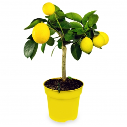 Цитрус Лимон в горшке 20/65 фото
