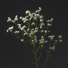 Лимониум Белый фото