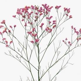 Лимониум розовый фото